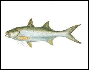 Thredfin_Salmon